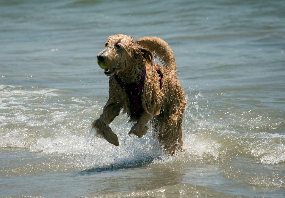 A dog playing in the water on the beach.