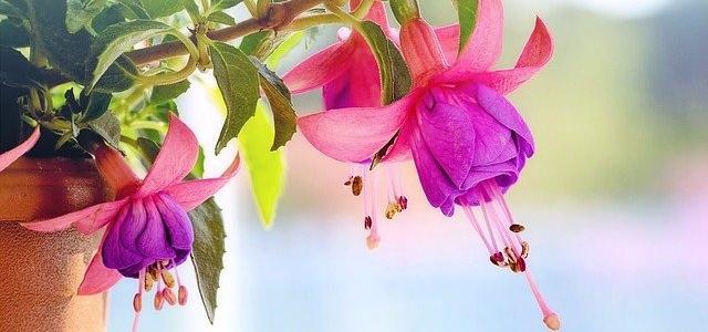 Fuchsia flower in a pot
